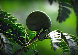 Guanacaste seedpod in shape of elephant or human ear