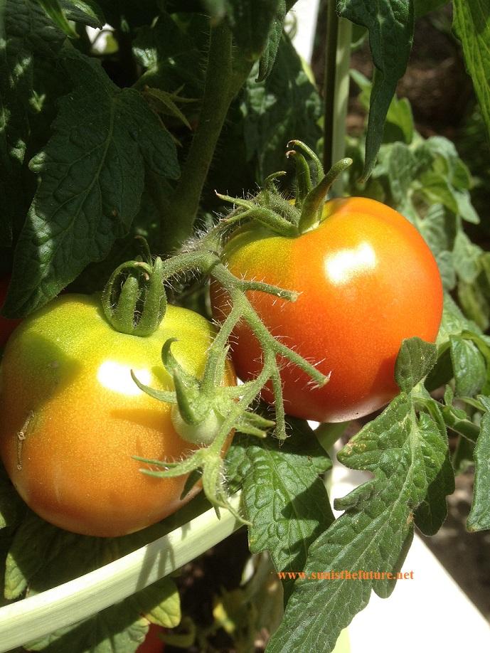 Sunisthefuture-Tomato1