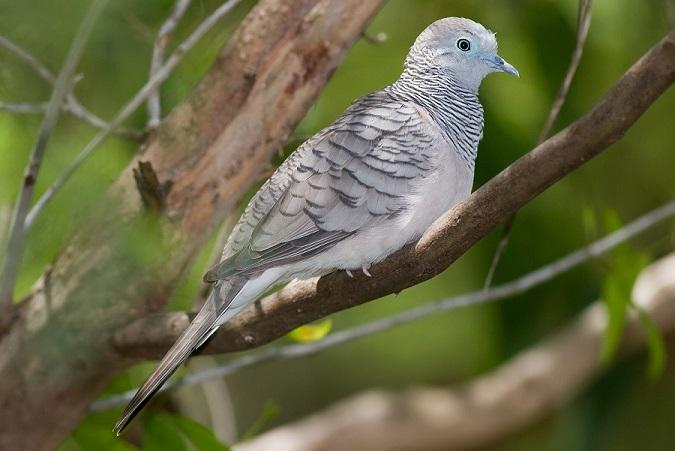 Peaceful Dove Fir0002 Flagstaffotos  under the GFDL v1.2 .75x.75x.75x